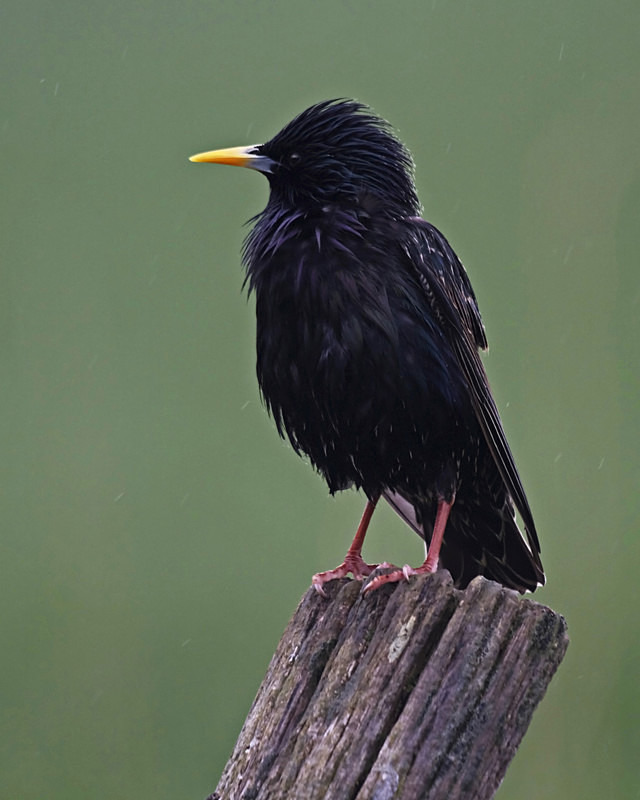 Starling - Anything Else!