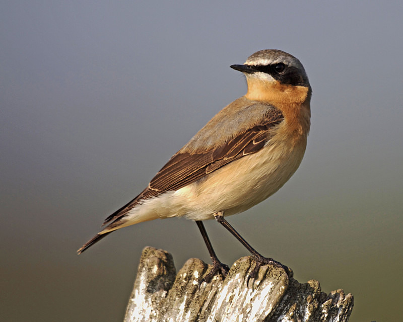 wheatear - Anything Else!