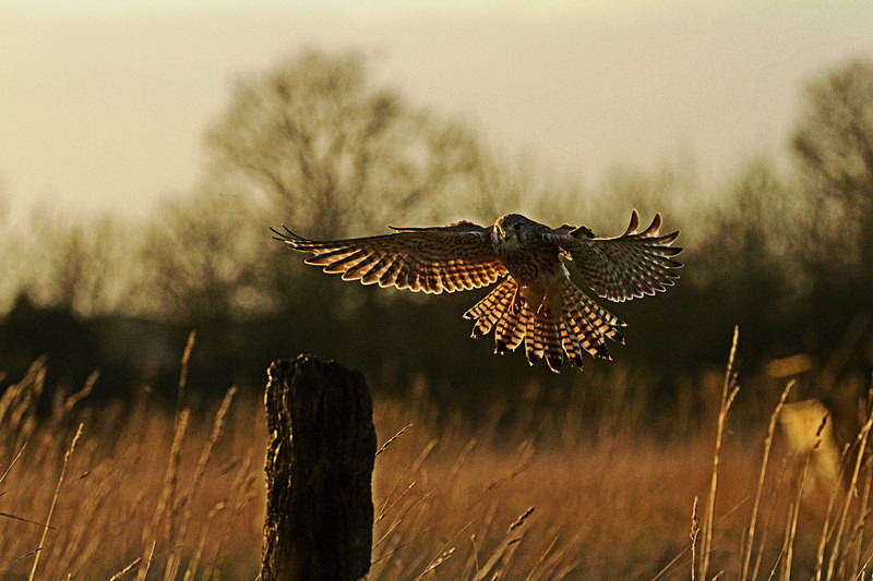 Kestrel landing at Stow Maries Aerodrome wildlife photography Russell Savory