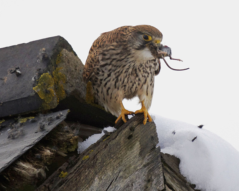 Kestrel eating a mouse at Stow Maries Aerodrome wildlife photography Russell Savory