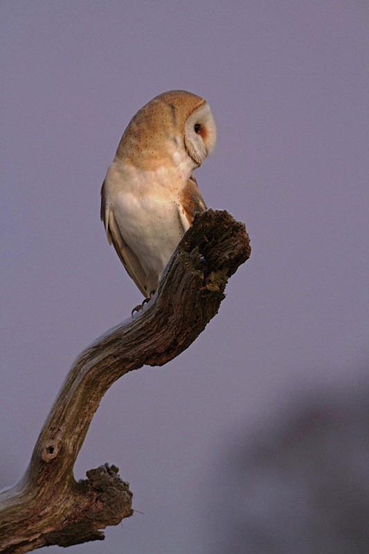 Barn Owl perched on a dead tree branch - Barn Owls