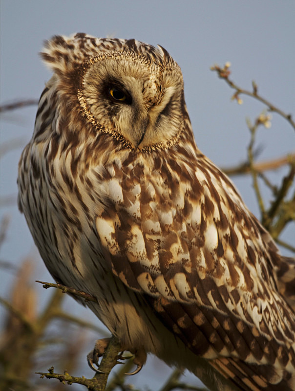 Short Eared Owl perched in a tree - Short Eared Owls
