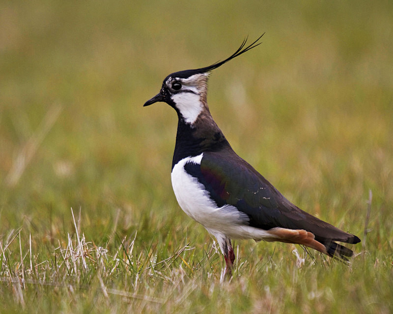 Lapwing - Anything Else!