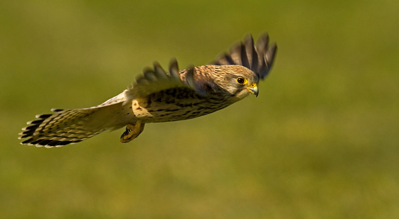 Kestrel in Flight at Stow Maries Aerodrome
