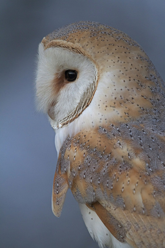 Barn Owl close up - Barn Owls