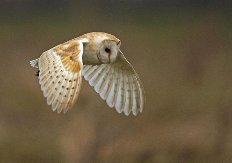Barn Owl in flight - Barn Owls