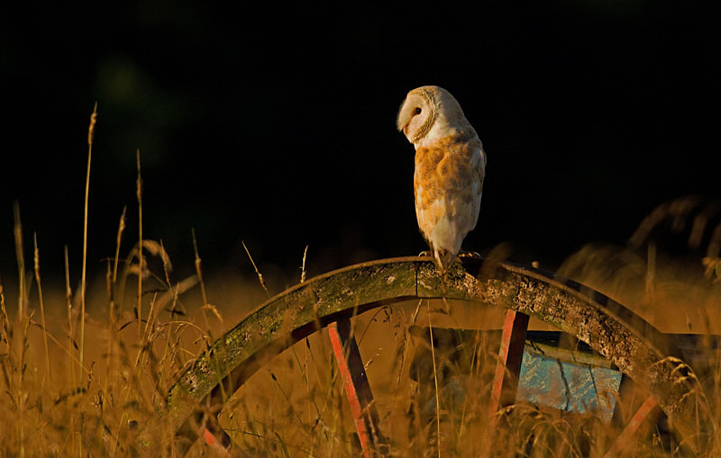 Barn Owl on a wheel - Barn Owls