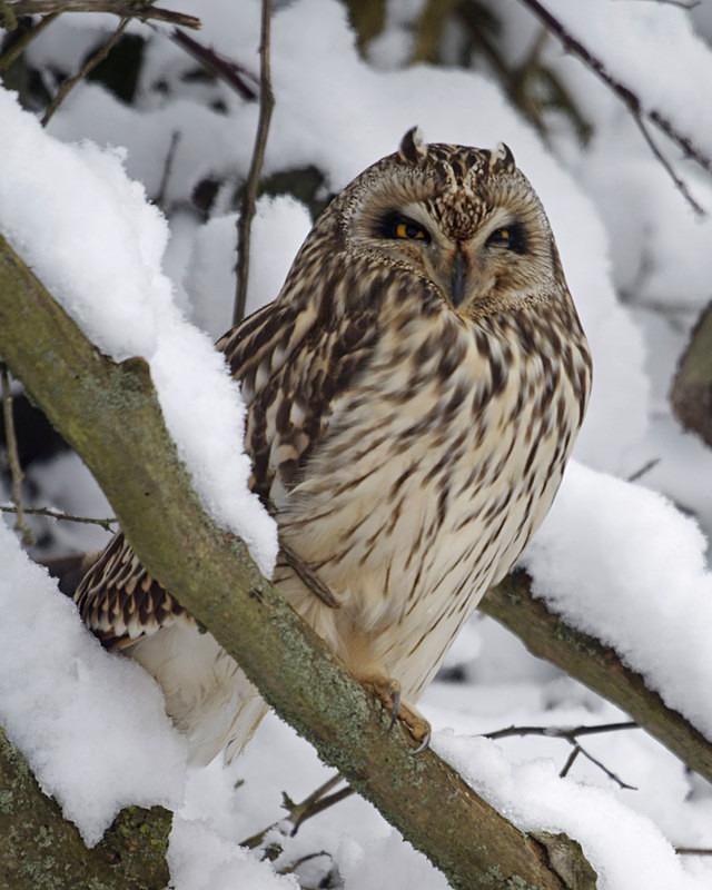 Short Eared Owl in the snow - Short Eared Owls