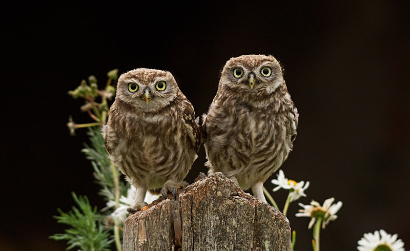 - Little Owls