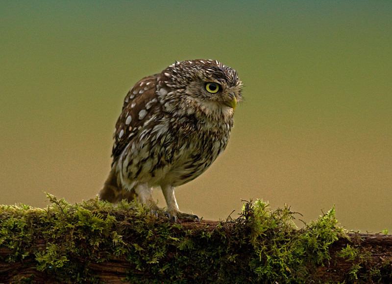 - Little Owls