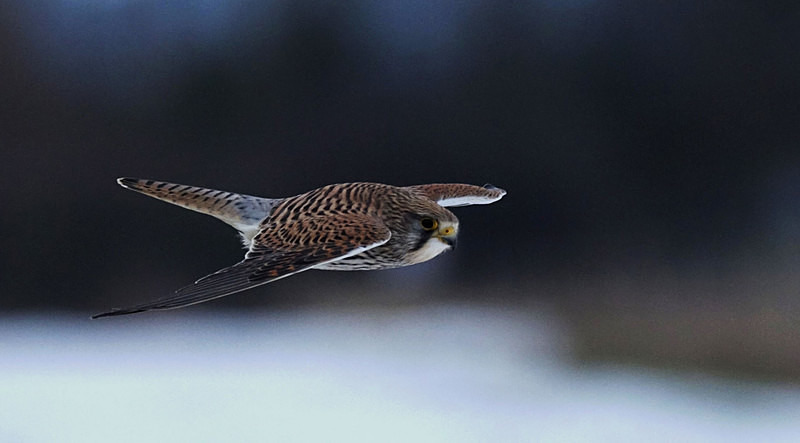 Kestrel Flying - Kestrels