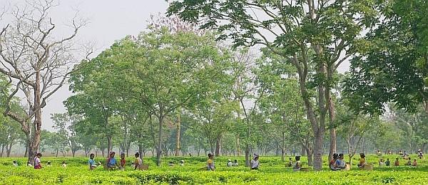 Tea Garden, Assam - India (Assam, Brahmaputra cruise, Agra and Jaipur)