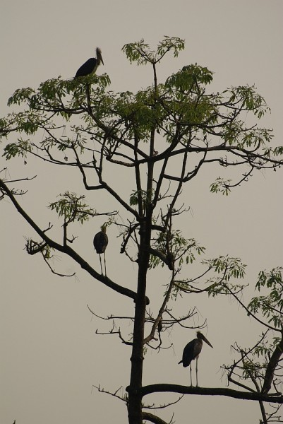 Giant Indian Storks - India (Assam, Brahmaputra cruise, Agra and Jaipur)