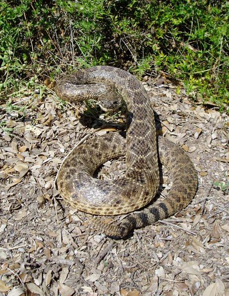 HERRING - Snakes