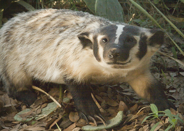 Badger- Anthony Simpson - Small Animals