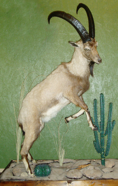 Ibex - Lifesize & 1/2 Lifesize Large Animals