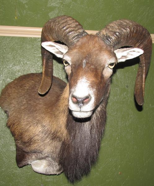 HEIRHOLZER - Sheep/Antelope