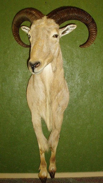 WALZ - Sheep/Antelope