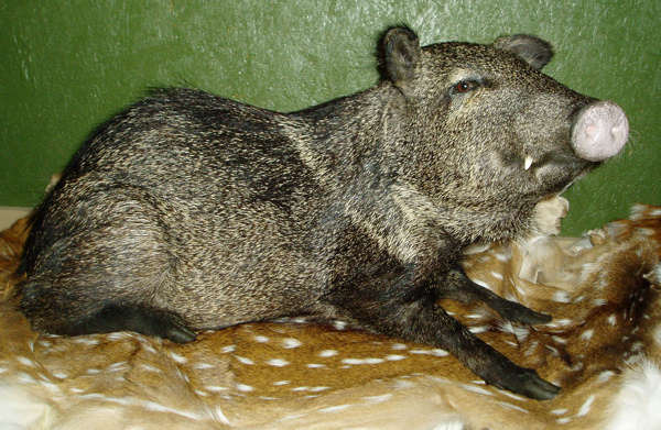 CORTEZ - Hogs and Javelina
