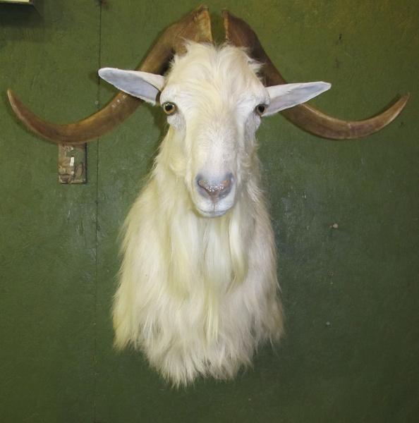 KING - Sheep/Antelope