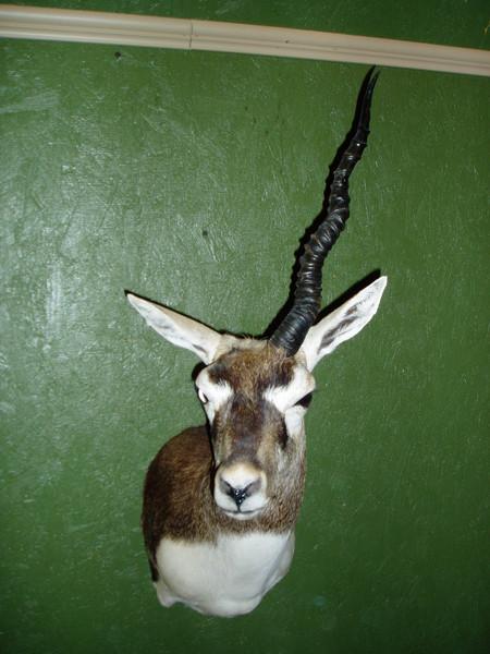 Blackbuck - one horn - Sheep/Antelope