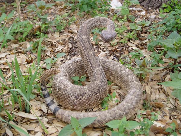 REYNA - Snakes