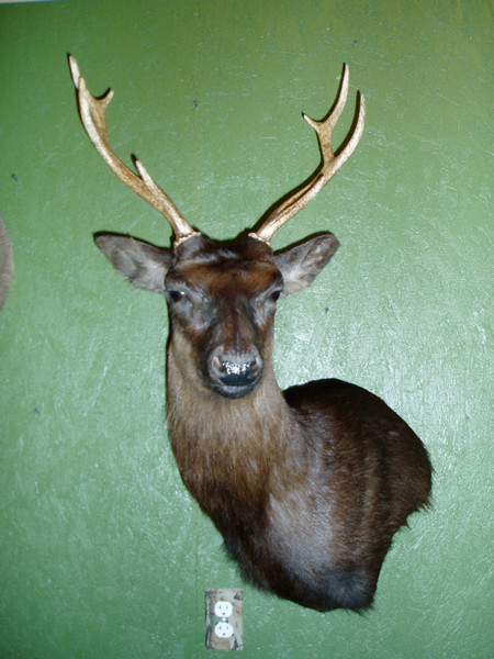 SIKA - REINA - Exotic/ African Shld Mounts