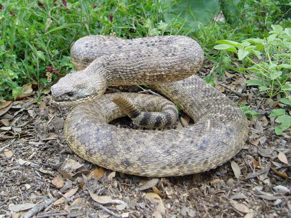 MORRIS - Snakes