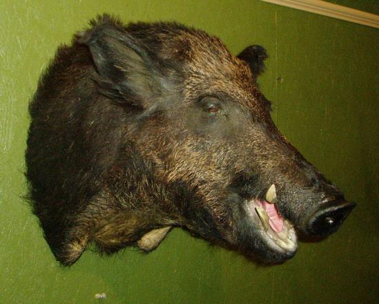 LEVI - Hogs and Javelina