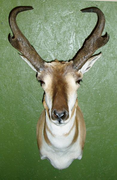 RONNIE CATLETT - Sheep/Antelope