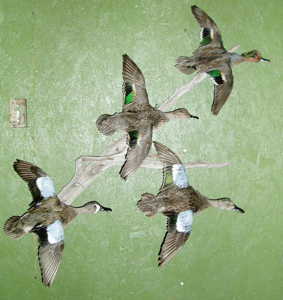 LEVI - TEALS - Birds