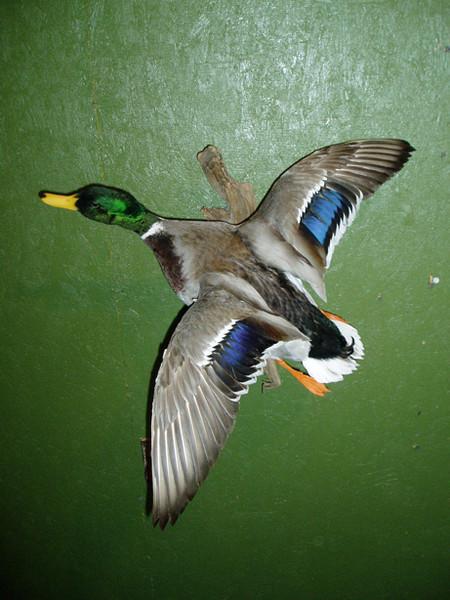 Devleeschower - Birds