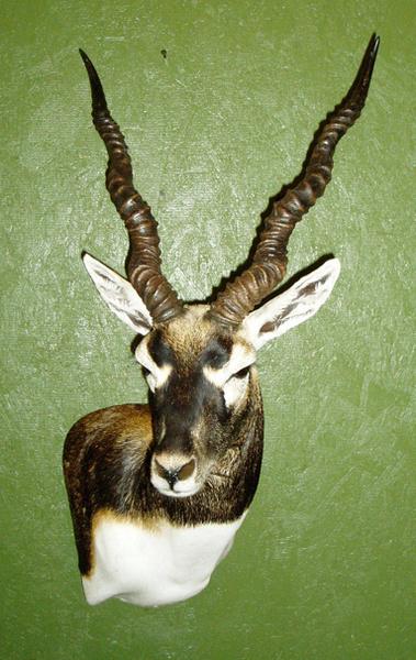 T. HORNY - Sheep/Antelope