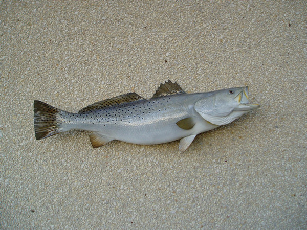 29' Trout - Kelly Powell - Fish