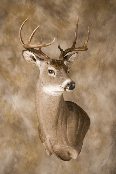 Whitetail Wall Pedestal - Shoulder Mounts
