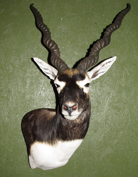 GUI - Sheep/Antelope