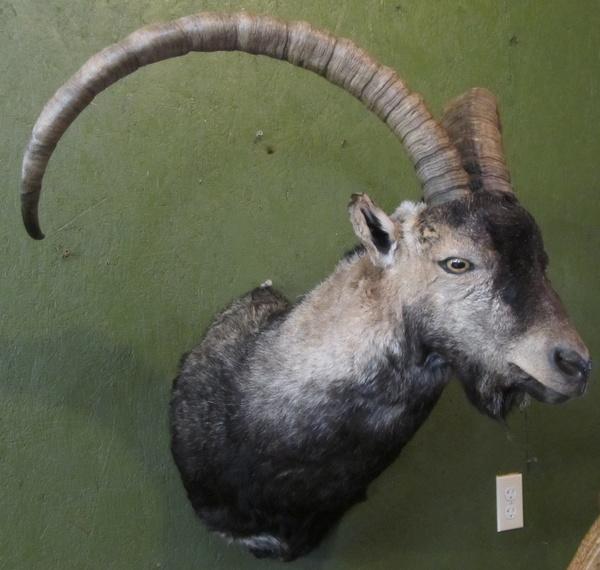 BOWLING - Sheep/Antelope