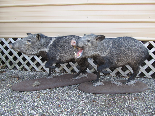MORRIS - Hogs and Javelina