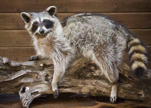 Raccoon- A. Flores - Small Animals