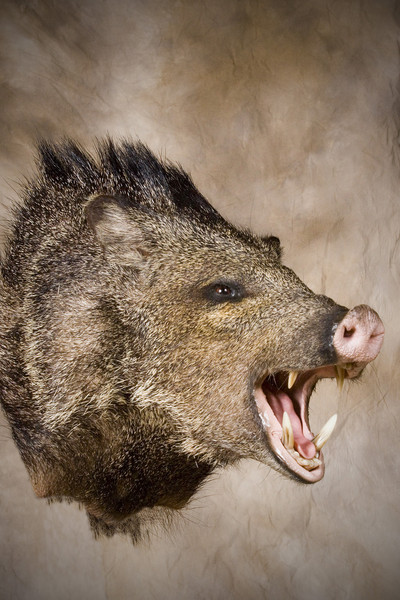 - Hogs and Javelina