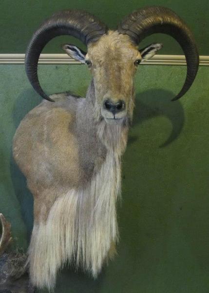 DIXON - Sheep/Antelope