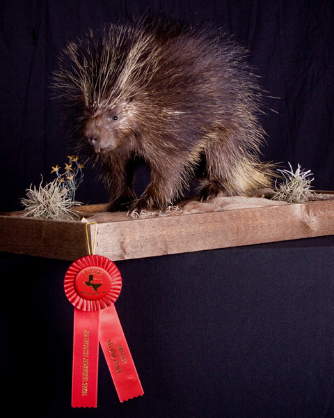 Porcupine 2nd Place - Small Animals