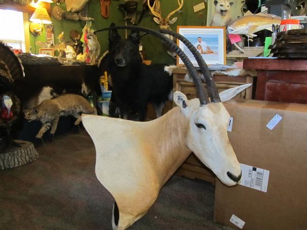 ALBRIGHT - Sheep/Antelope