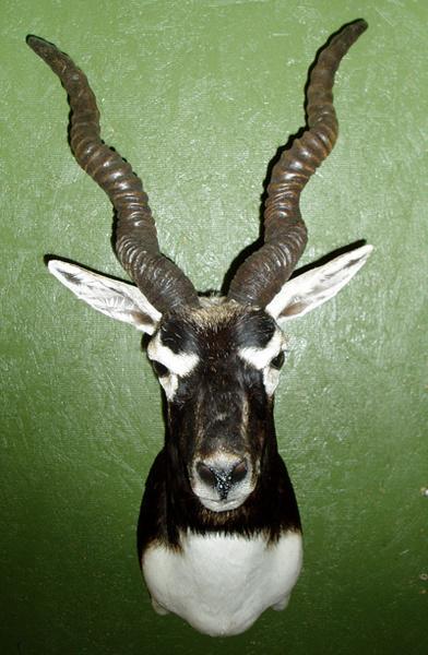 ESTRADA - Sheep/Antelope