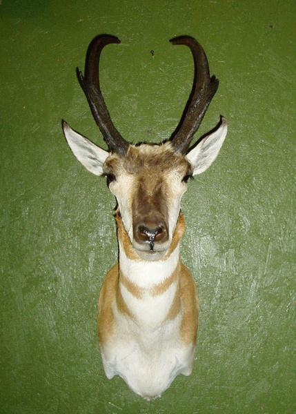 JONES - Sheep/Antelope
