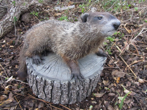 WOODCHUCK - Small Animals