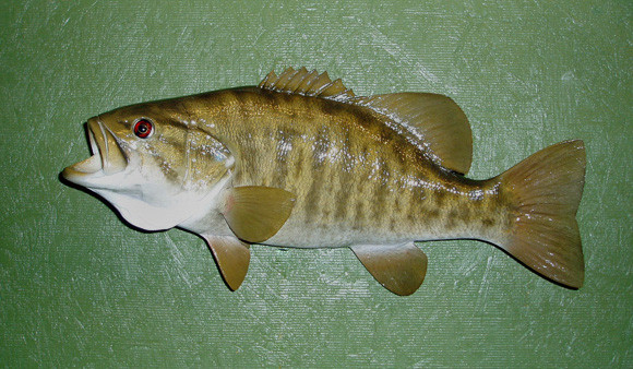 SMALLMOUTH - KYZAR - Fish