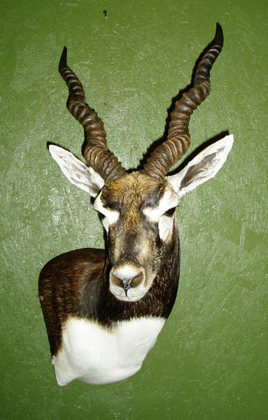 WRIGHT - Sheep/Antelope
