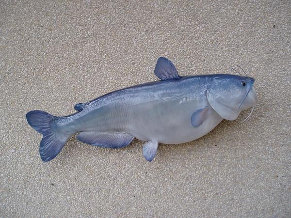 Blue Catfish - Fish