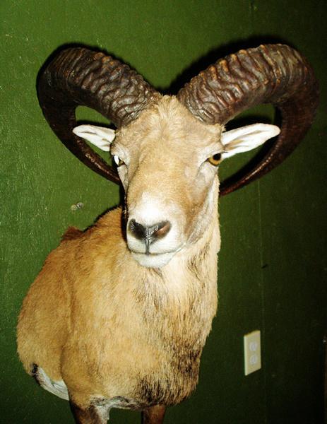 KOTZUR-RED SHEEP - Lifesize & 1/2 Lifesize Large Animals
